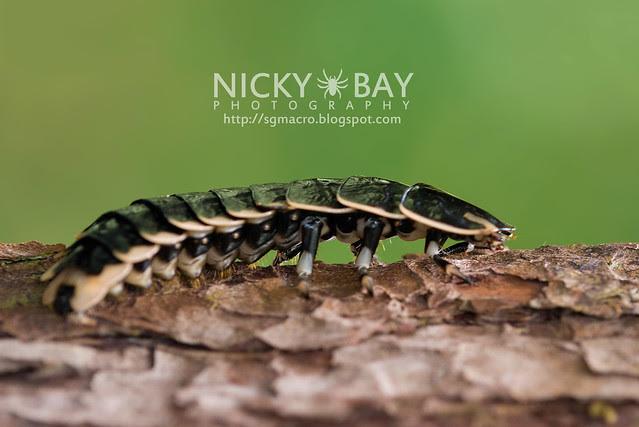 Firefly larva (Lampyridae) - DSC_9355