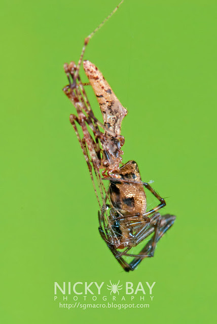Comb-Footed Spider (Theridiidae) - DSC_1983
