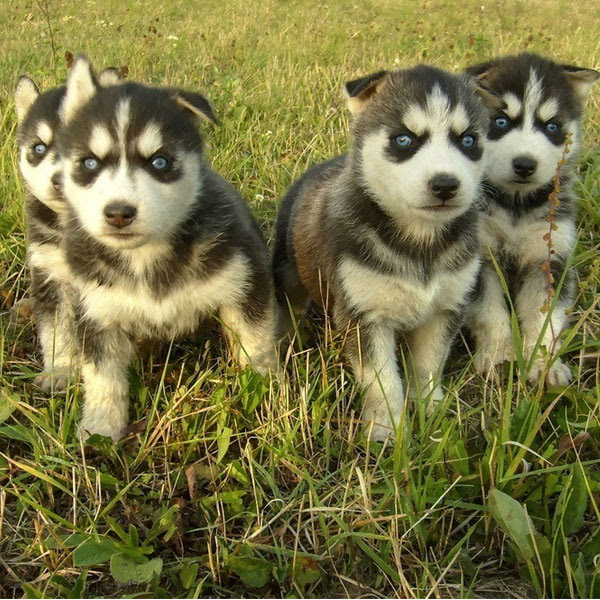 Puppy Husky For Sale In Northern Ireland UK