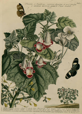 Martynia - flower illustrations by Georg Dionys Ehret