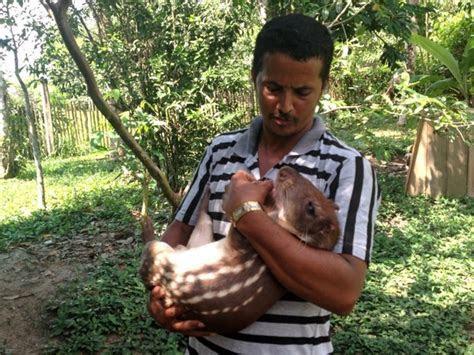 3 de Julho Notícias   Agricultor adota paca como animal de estimação no Acre