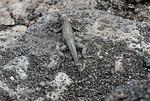 Galapagos, Espinoza Point, Fernandina Island, Lava Lizard