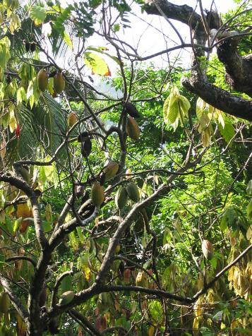 cultivar cacaotero