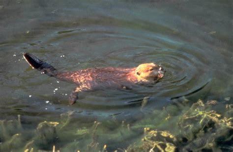 Family Castoridae: Beavers