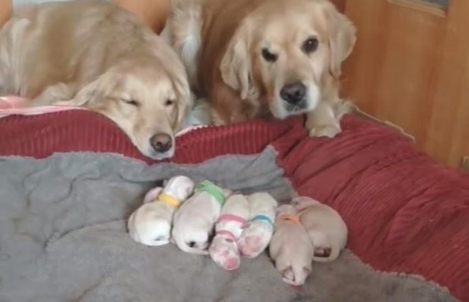 Pareja de perritos conmueven hasta las lágrimas por todo el amor que le brindan a sus cachorros