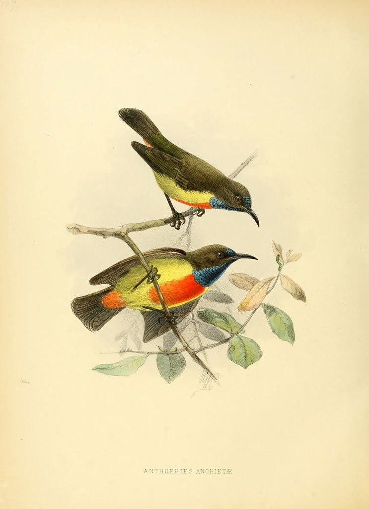 red-breasted golden bird duo - 19th century litho