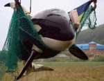 Whales in tanks - After 10 months the police found the killer whales at ENEA