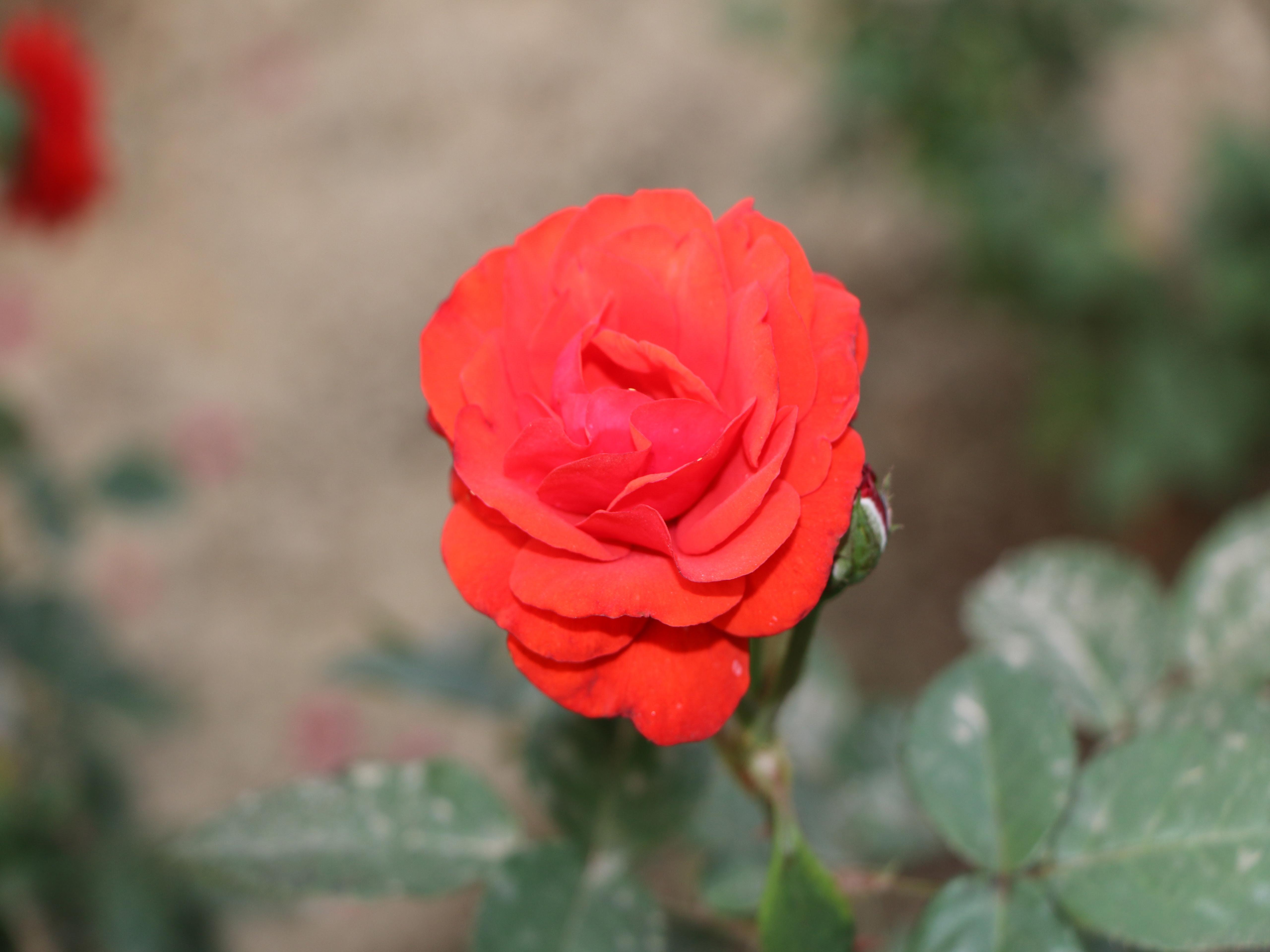 Rose [5120×3840]