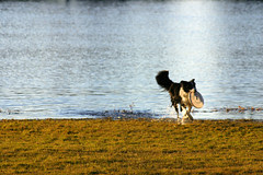 Border Collie Coming out of November Water