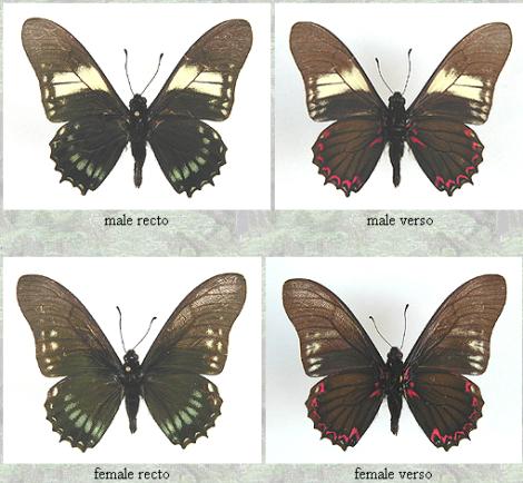 Mimoides protodamas  Por; Lepidoptera.datahosting