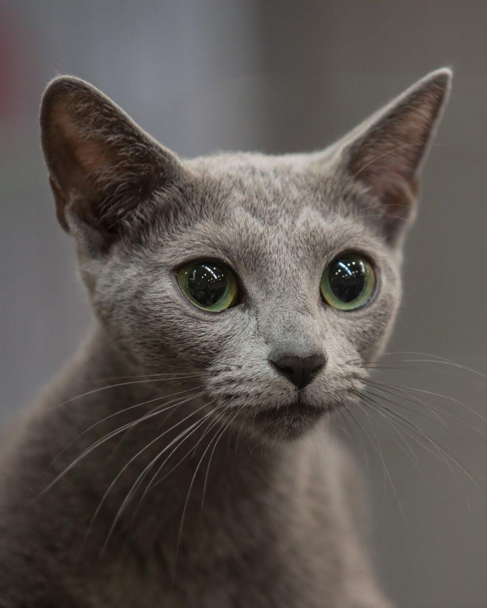 Fotogalería Los Gatos Más Espectaculares Del Mundo Los Gatos Más