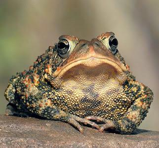Жаба-Принц