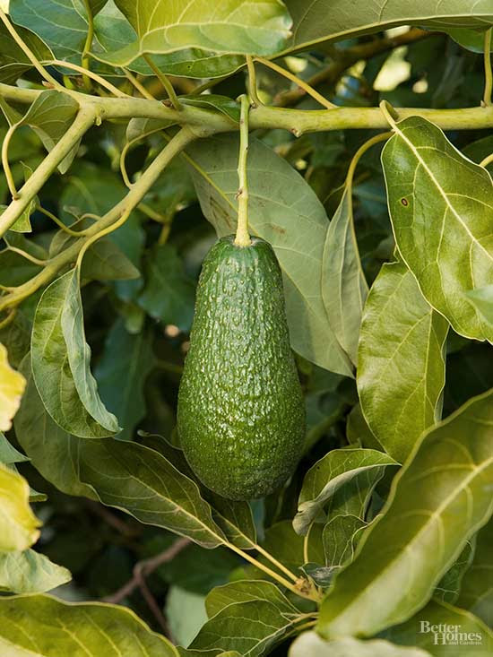 How to Grow an Avocado Tree: You May Never Make Guacamole ...