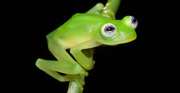 Χαρακτηριστικά του νέου βατράχου τα διογκωμένα λευκά μάτια
