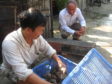 Người nuôi chọn những con chim cút thịt đạt chuẩn để bán cho thương lái.