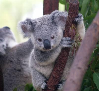 Las peores estimaciones hablan de 43.000 koalas viviendo en libertad.