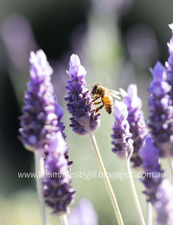 11 August 201 photo Garden-lavendert_5557-AUg14_zps79b16a7f.jpg