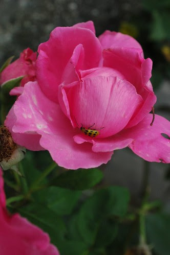 Beetle on Rose