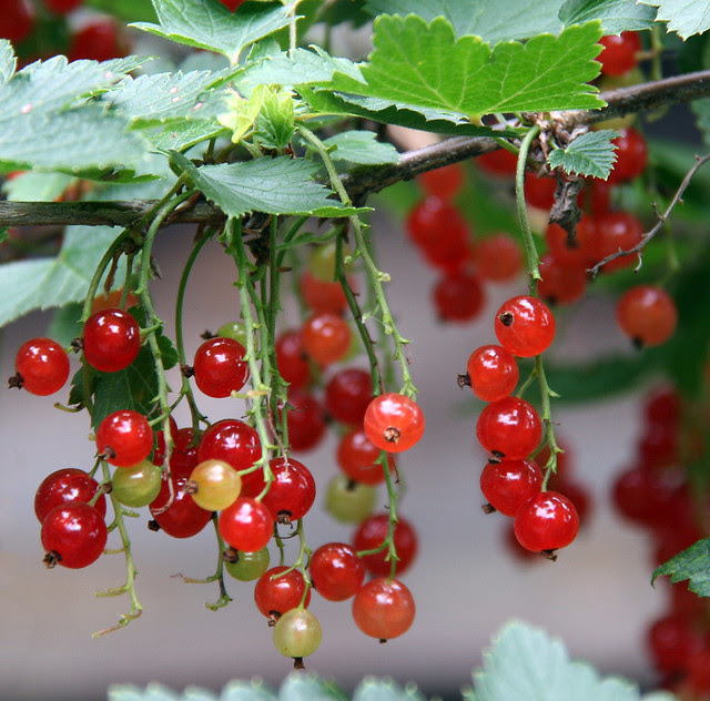 IMG_2672 red currants 2
