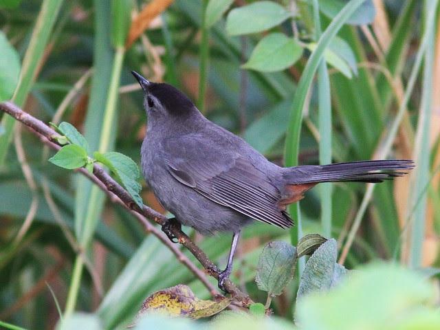 Gray Catbird 3-20131217