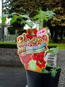 【8月上旬発送分予約】トマト革命!! 秋トマトの苗