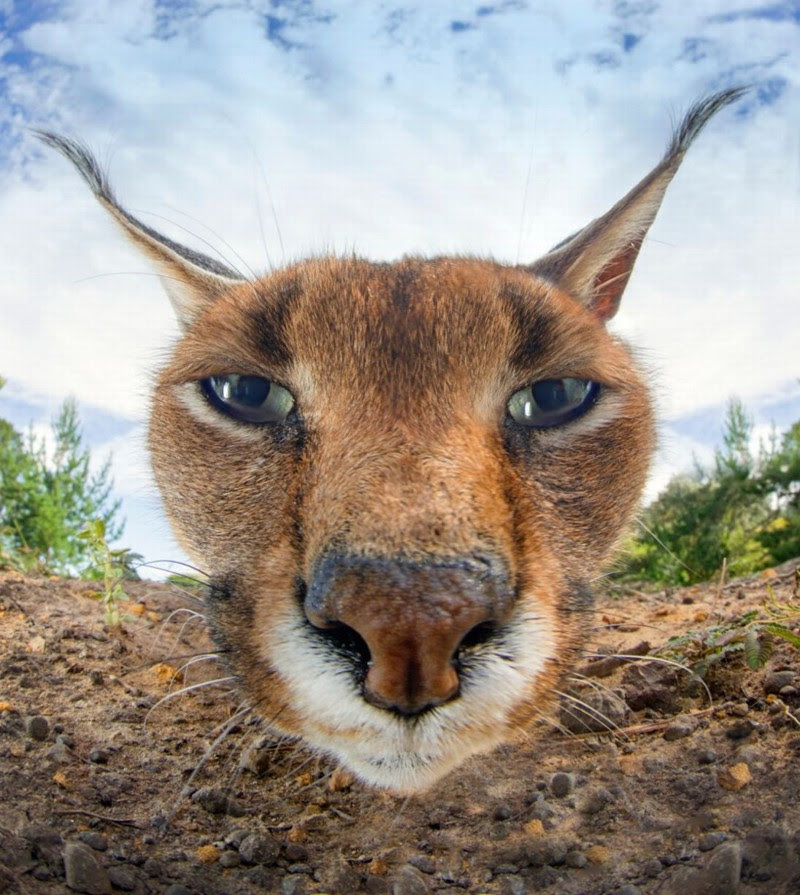 19. Caracal decided to examine more closely the camera.  unusual, amazing photos,