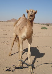 CamelsAngry1.JPG