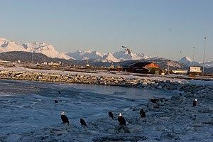Ealges on the spit in Homer, Alaska