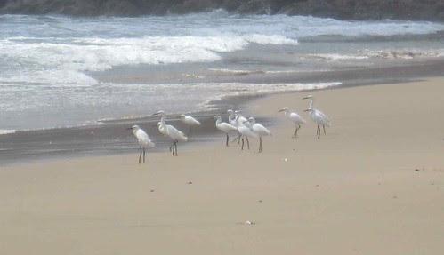 Egrets on the beach