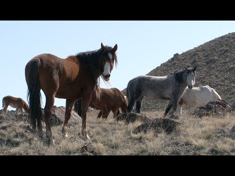 The Story Of America S Wild Horses And Burros Youtube