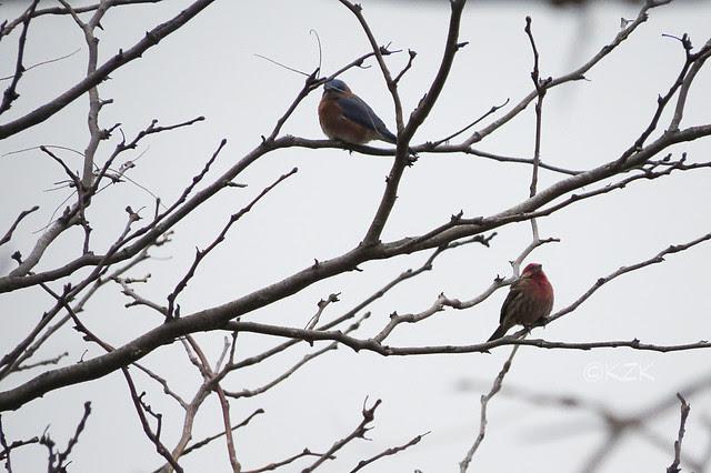 IMG_1359Bluebird_Finch