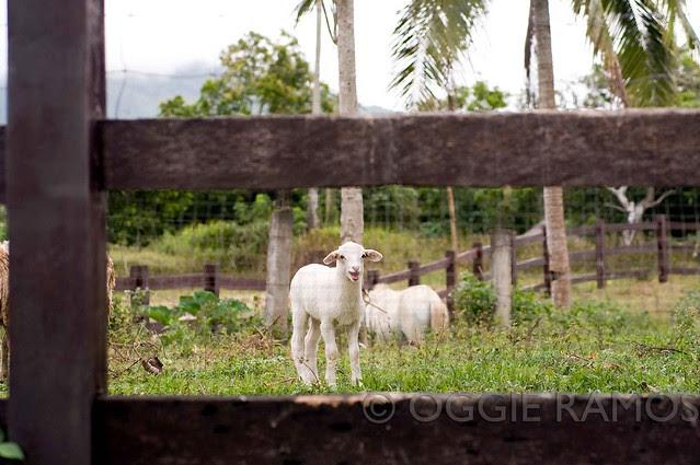 Hacienda San Benito - Smiling Lamb