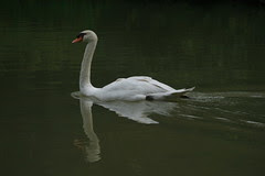 28th Apr 07 - Singapore Botanic Gardens - swan