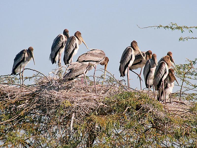 File:Painted Stork- Immatures at nest- Im IMG 8531.jpg