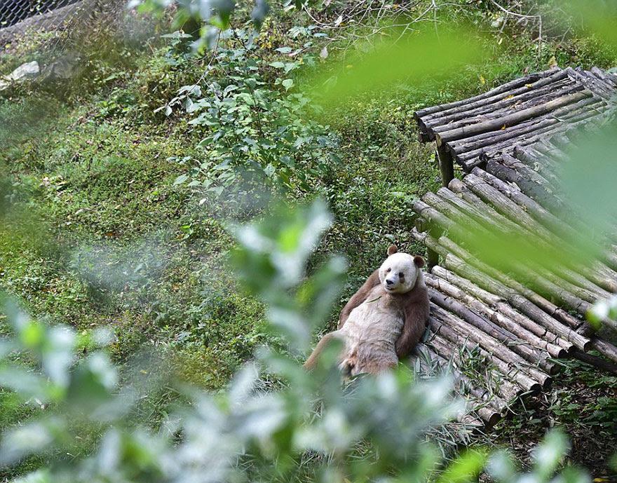 abandonou-brown-panda-qizai-6