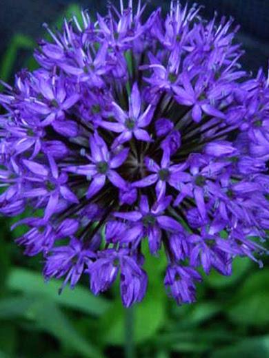 Allium caeruleum 10 stk