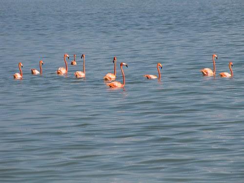 Flamingos! #4 (Inagua: Day 2)