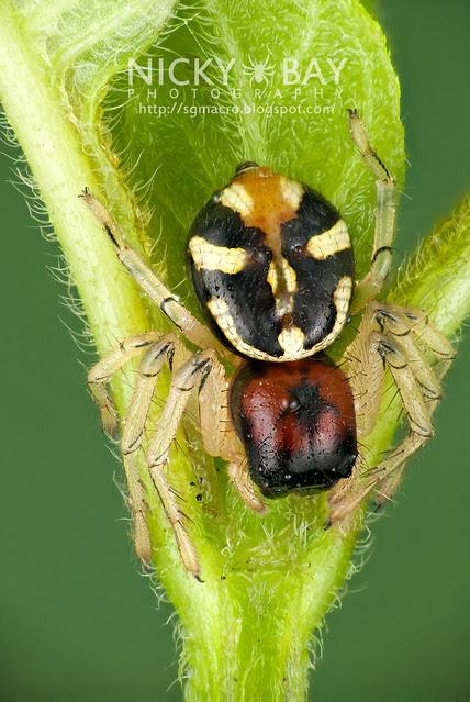 Crab Spider (Camaricus maugei) - DSC_2916