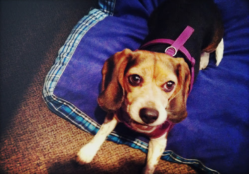 lucy-beagle