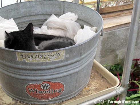 Mr. Midnight snuggled up in a vintage galvanized tub in the greenhouse 1 - FarmgirlFare.com