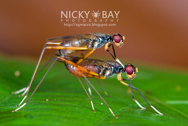 Stilt-Legged Flies (Micropezidae) - DSC_7525