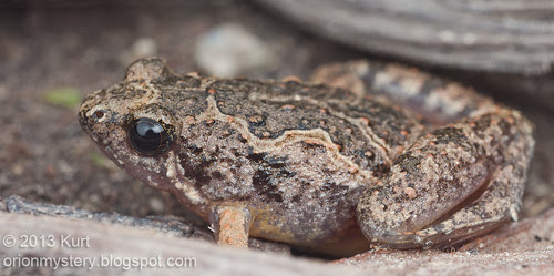 IMG_9917 merged copy Painted Chorus Frog (Microhyla butleri)