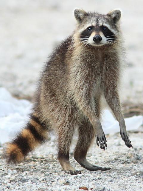 Raccoon 20120419