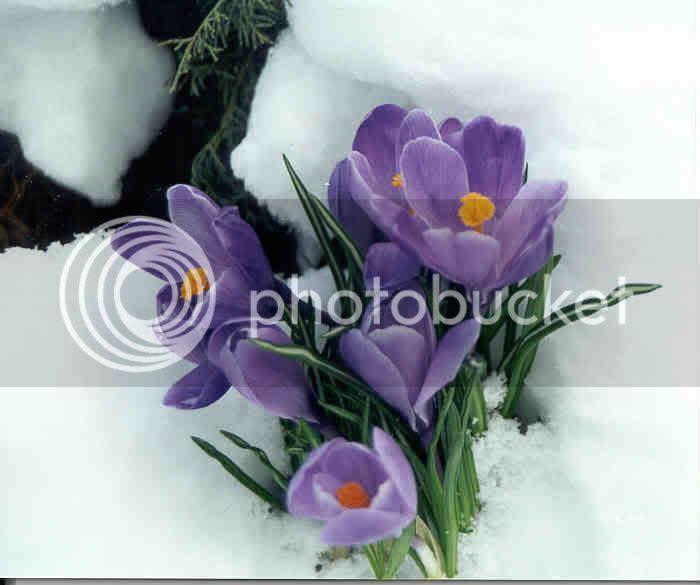 crocus snow photo: Snow Crocus crocus.jpg
