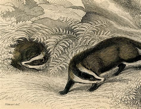 Vintage Badger Image!   The Graphics Fairy
