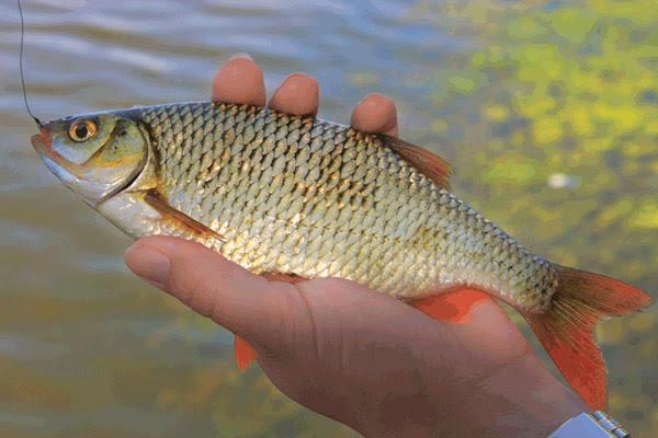 Рыбалка осенью, прикормки для рыбалки, осенняя рыбалка, наживки для рыбалки, прикормки для рыбалки осенью, наживки для рыбалки осенью, мотыль, как насаживать мотыля на крючок, опарыш, как правильно насаживать опарыша, как ловить на опарыша осенью, как ловить на ручейника, как ловить на бокоплава, ловля на короеда, ловля на личинок