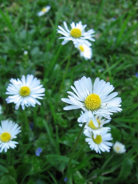 daisies, washington park