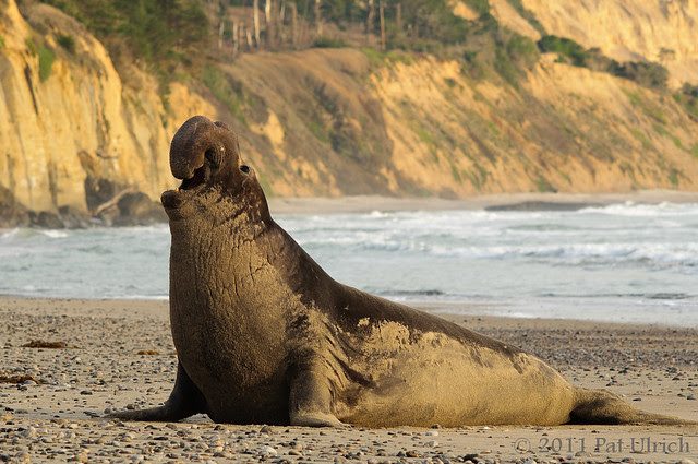 Nothern elephant seal, Año Nuevo State Reserve -- Pat Ulrich Wildlife Photography