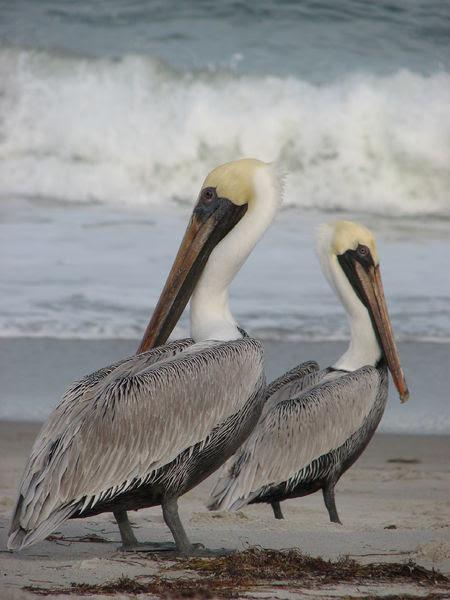 File:2006-12-03-pelican-melbourne-fl-usa.jpg