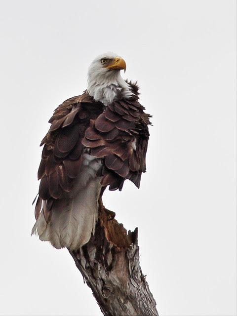 Bald Eagle Pride 2-20140317